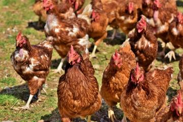Ohniska ptačí chřipky má stát pod kontrolou, není třeba se bát konzumace drůbežího masa či vajec