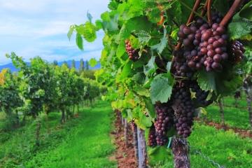 Plocha vinic se rozšířila, malých pěstitelů ubývá