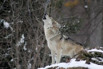 Náhrady škod způsobené vlky se rozšíří, začíná platit nová vyhláška
